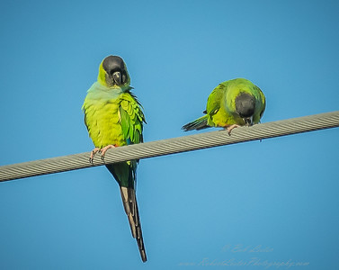 2018-12-08_300,iso400,hheld  Nanday Parakeet, Black-hooded Parakeet (Nandayus nenday)_13