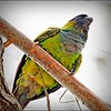 Nanday Parakeet_P4240036_Gulfport,Fl