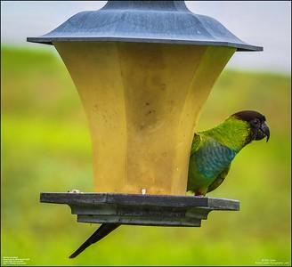 P6040057_Nanday Parakeet