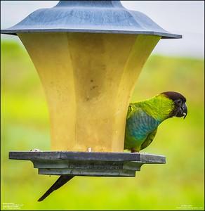 P6040053_Nanday Parakeet
