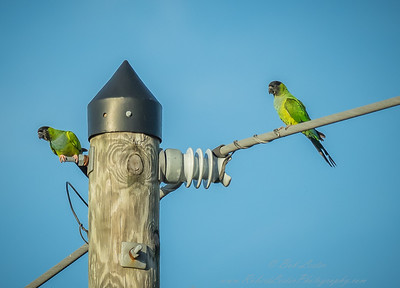 2018-12-08_300,iso400,hheld  Nanday Parakeet, Black-hooded Parakeet (Nandayus nenday)_21