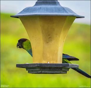 P6040050_Nanday Parakeet