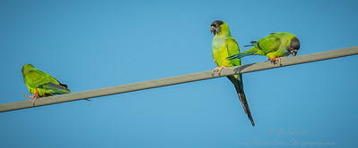 2018-12-08_300,iso400,hheld  Nanday Parakeet, Black-hooded Parakeet (Nandayus nenday)_10