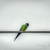 nandayParakeet, Black-hooded Parakeet (Nandayus nenday),Clwtr,Fl-- 2018-08-20-8300005