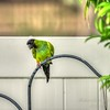 nandayParakeet, Black-hooded Parakeet (Nandayus nenday),Clwtr,Fl-- 2018-08-20-8300003