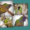 Nanday Parakeet_collage_Gulfport,Fl