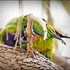Nanday Parakeet_P4240022_Gulfport,Fl