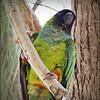 Nanday Parakeet_P4240031_Gulfport,Fl