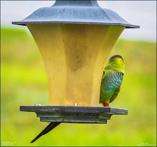 P6040062_Nanday Parakeet
