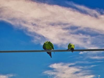 002_nanday parakeet_20210421