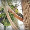 Nanday Parakeet_P4240027_Gulfport,Fl
