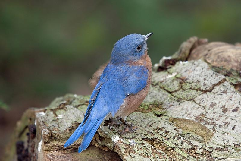 Eastern Bluebird 3