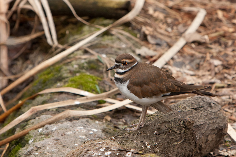 Killdeer 3