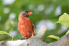 Northern Cardinal (molting) 2