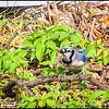 P5270071_ Blue Jay with worm