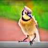 P7110010_ Blue Jay2