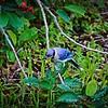 006_rx blue jay_2021-06-26