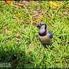 P5270074_ blue jay