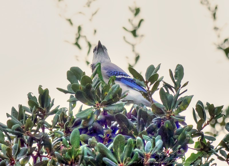 2018-11-06_PB060035_ 300 flash ext  bluejay_2 - Under