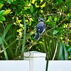 002_Blue Jay_2021-07-17