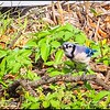 P5270070_ Blue Jay with worm