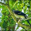 P5270072_ blue jay