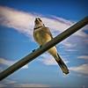 2021-01-08_001_Blue Jay