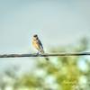 Blue Jay (Cyanocitta cristata),Clwtr,Fl-- 2018-08-18-8180122_Enhancer