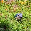 P5270073_ blue jay