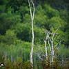 2017-07-03_boat-tailed grackle,Chautauqua Park_P7030772