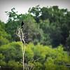 2017-07-03_boat-tailed grackles,Chautauqua Park_P7030765