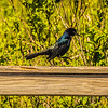 Boat-tailed Grackle,Chautauqua Park (amenhanblu+)   2018-03-22-3220115