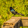 Boat-tailed Grackle,Chautauqua Park (amenhanblu+)   2018-03-22-3220112