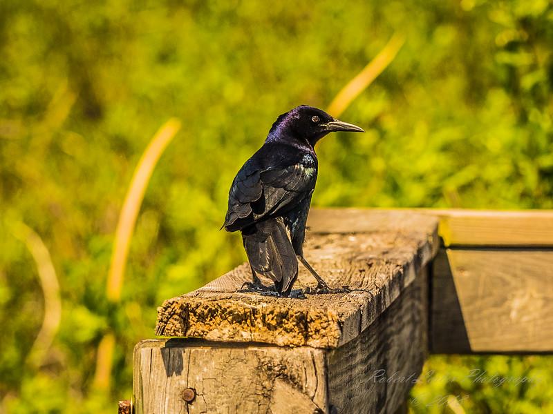 Boat-tailed Grackle,Chautauqua Park (amenhanblu+)   2018-03-22-3220108