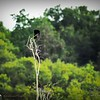2017-07-03_boat-tailed grackles,Chautauqua Park_P7030761