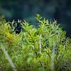 2017-07-03_boat-tailed grackle,Chautauqua Park_P7030753