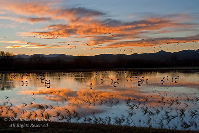Evening, Sandhill Cranes, Grus canadensis, Bosque del Apache National Wildlife Refuge, New Mexico, USA, North America