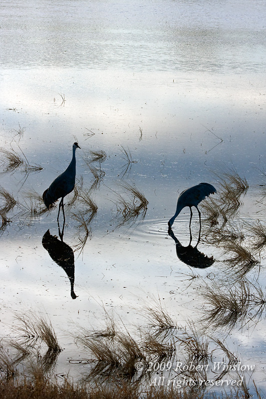 Two Sandhill Cranes, Grus canadensis, Bosque del Apache National Wildlife Refuge, New Mexico, USA, North America