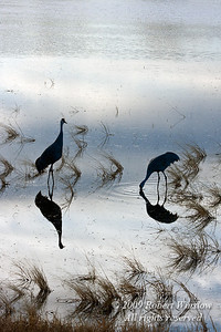Two Sandhill Cranes, Grus canadensis, Bosque del Apache National Wildlife Refuge, New Mexico, USA, North America