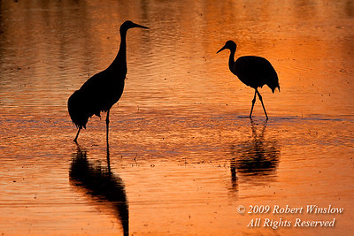 Sunset, Evening, Two Sandhill Cranes, Grus canadensis, Bosque del Apache National Wildlife Refuge, New Mexico, USA, North America
