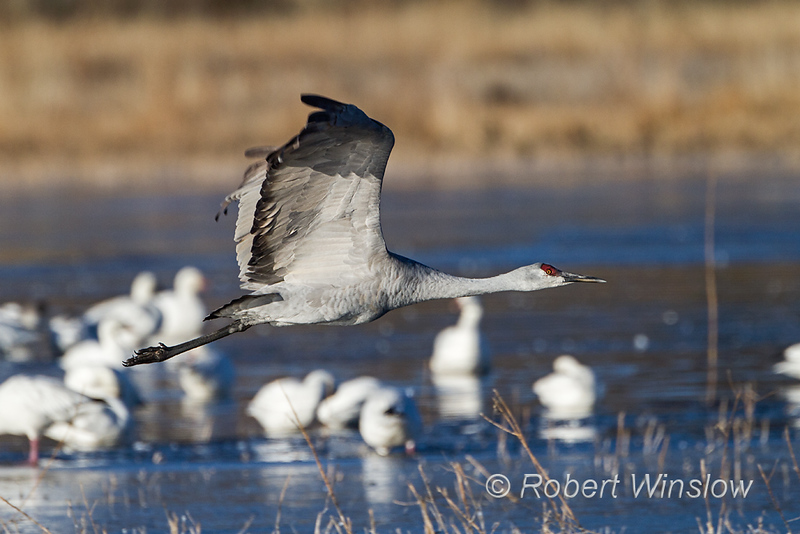 Sandhill Crane, Grus canadensis, flying, Bosque del Apache National Wildlife, New Mexico