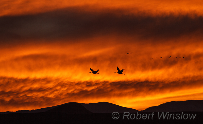 Two Sandhill Cranes Flying at Sunset, Snow Geese flying in background, Bosque del Apache National Wildlife Refuge, New Mexico, USA