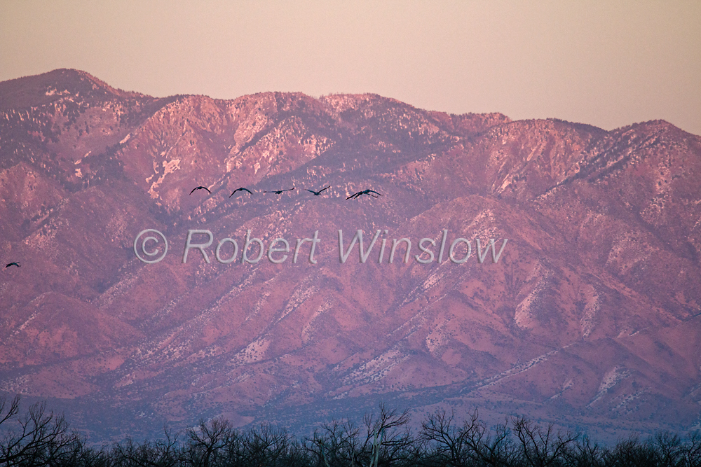 Sandhill Cranes, Grus canadensis, Flying, Sunset, Ladd S. Gordon Waterfowl Complex., New Mexico, USA, North America