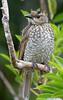 Female Regent Bower Bird