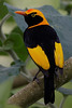 Regent Bower Bird (male)