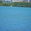 _4_brown pelican,_0223