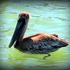 "Brown Pelican,   Clearwater,Fl.     ©  <a href=""http://www.PhotosRUs2008.com"">http://www.PhotosRUs2008.com</a>   Bob Lester   All rights reserved."