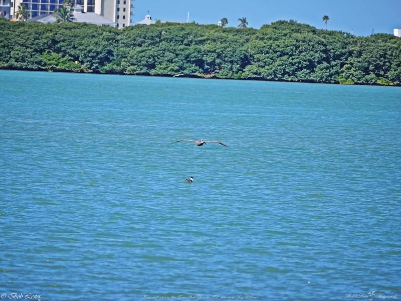 _6_brown pelican,_0223