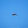 _1_brown pelican,_0223
