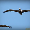 Bald Eagles shoot, 2013-12-22,Palm Harbor,Fl _IMG_2583_